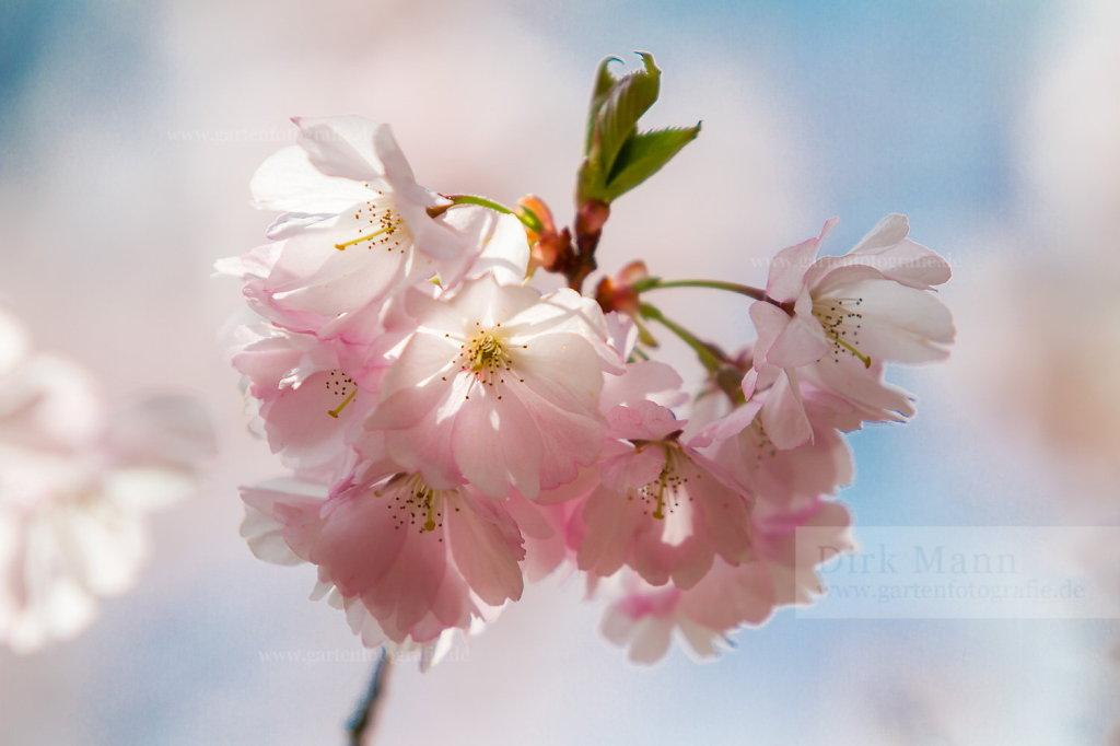 Foto: Japanische Blütenkirsche (Prunus serrulata)