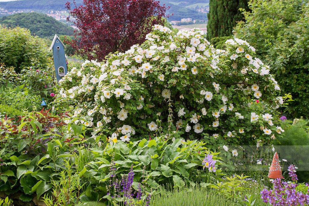 Bild: Gartensituation mit blühender Strauchrose