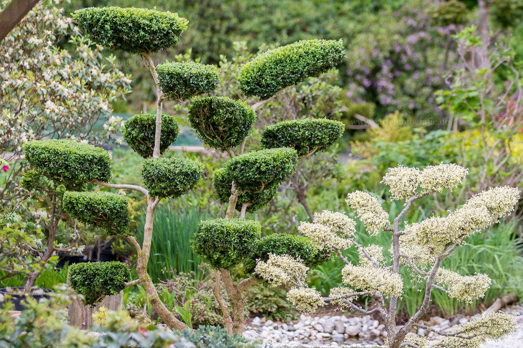 Bild: Gartenbonsai