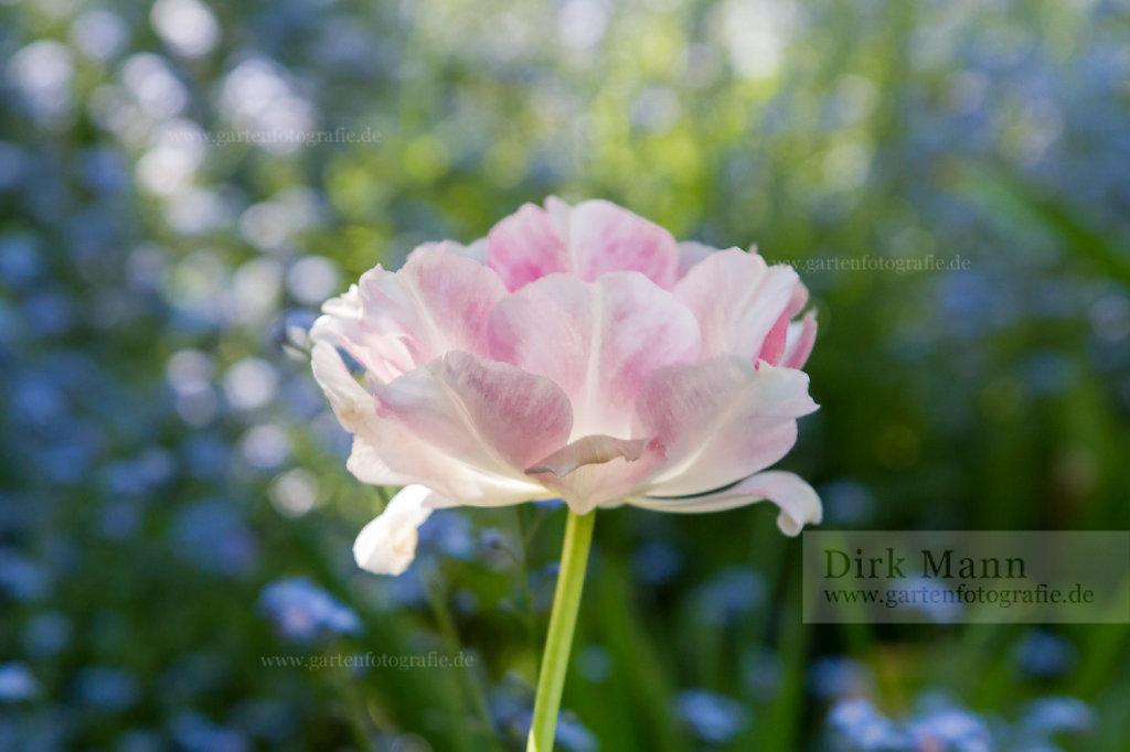 Bild: Rosa Tulpenblüte im Morgenlicht
