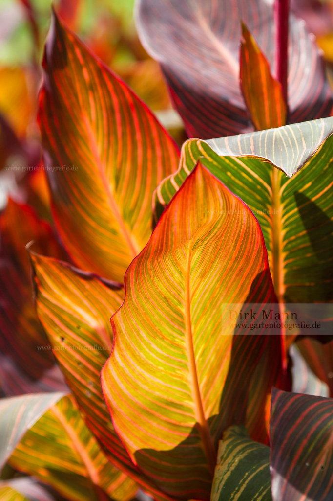 Foto: Indisches Blumenrohr (Canna indica)