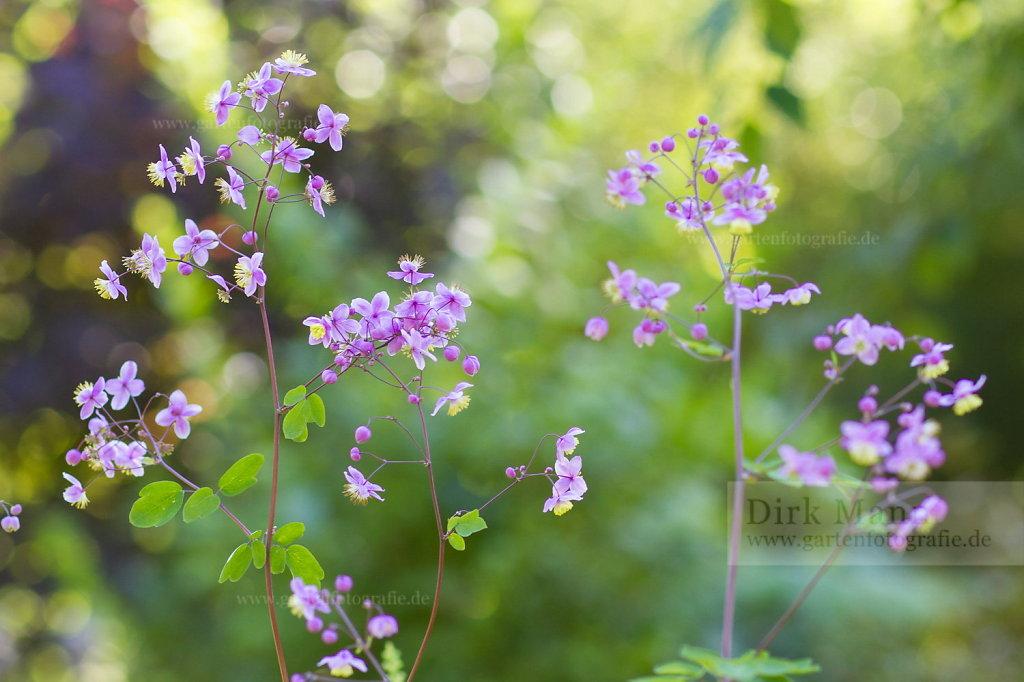 Foto: Prächtige Wiesenraute (Thalictrum rochebrunianum)
