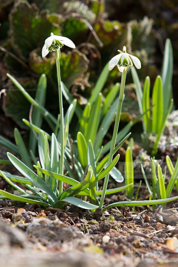 Foto: Schneeglöckchen (Galanthus 'Hippolyta')