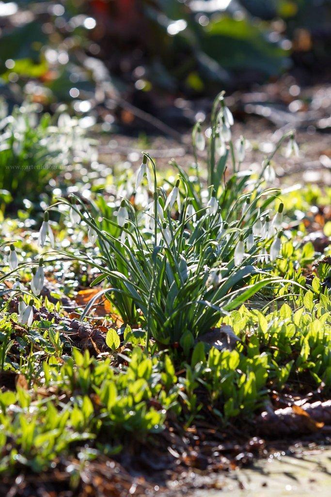 Foto: Kleines Schneeglöckchen (Galanthus nivalis)