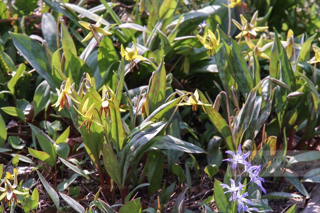 Foto: Ostamerikanischer Hundszahn (Erythronium americanum)