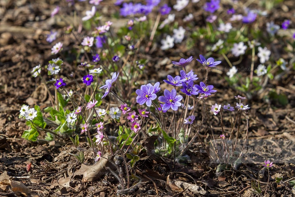 Foto: Leberblümchen (Hepatica auctiloba)