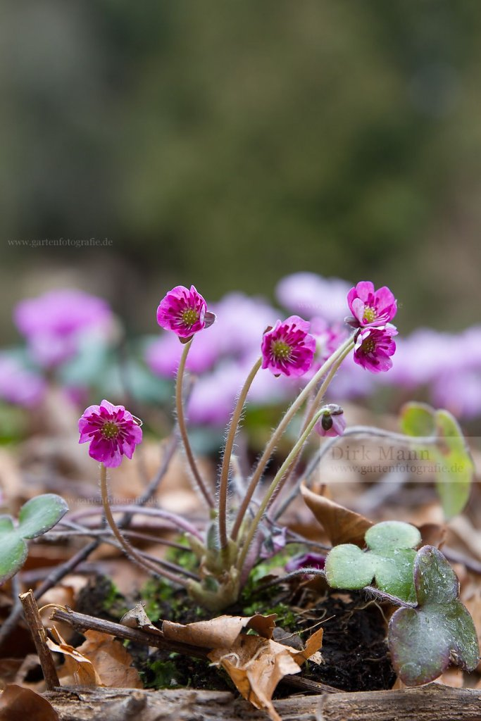 Foto: Rotes Leberblümchen (Hepatica 'Red Forest')