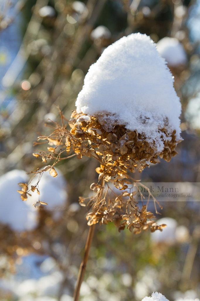 Foto: Rispen-Hortensie (Hydrangea paniculata)