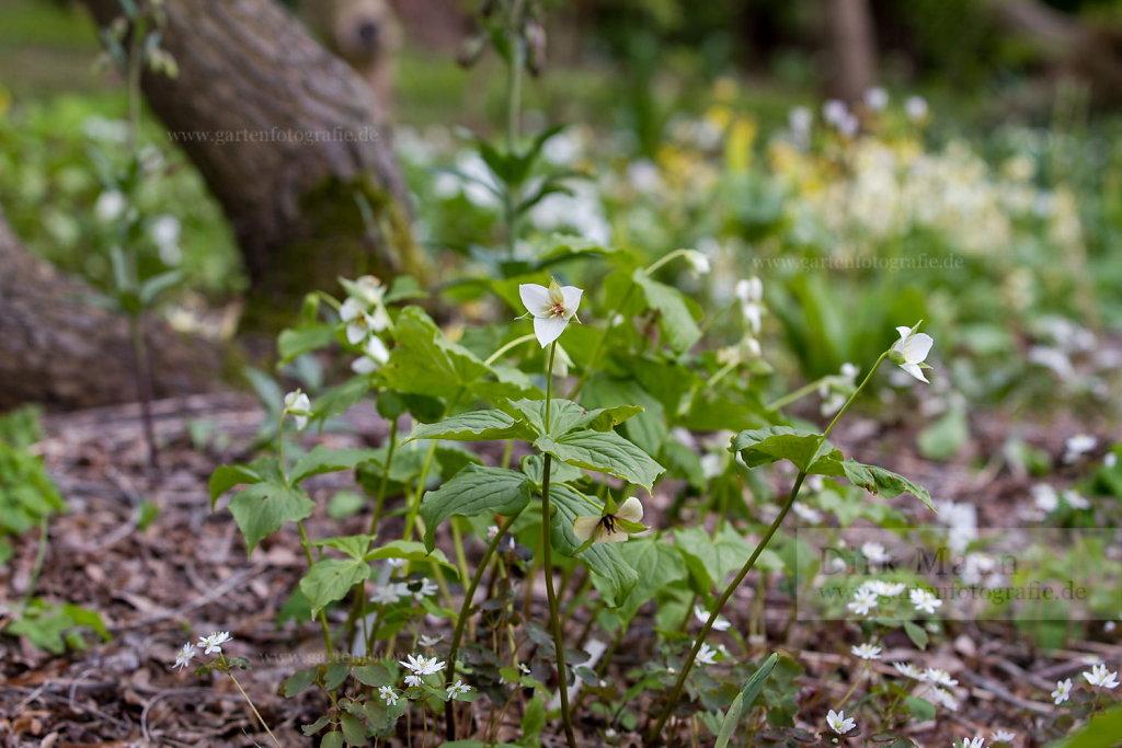 Foto: Waldlilie (Trillium erectum album)