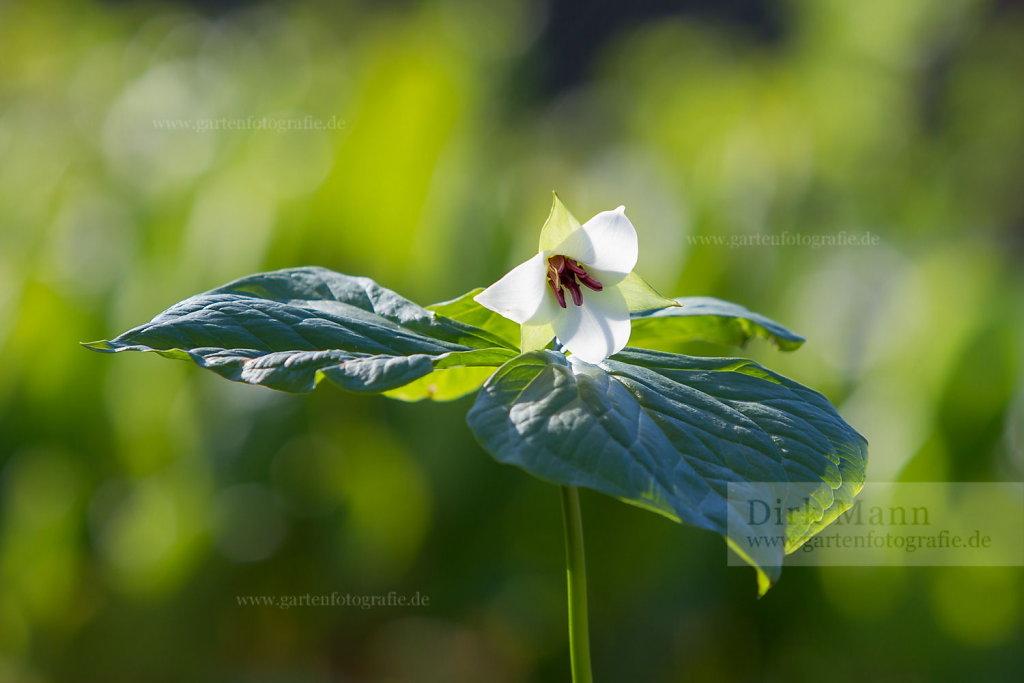 Foto: Waldlilie (Trillium rugelii)