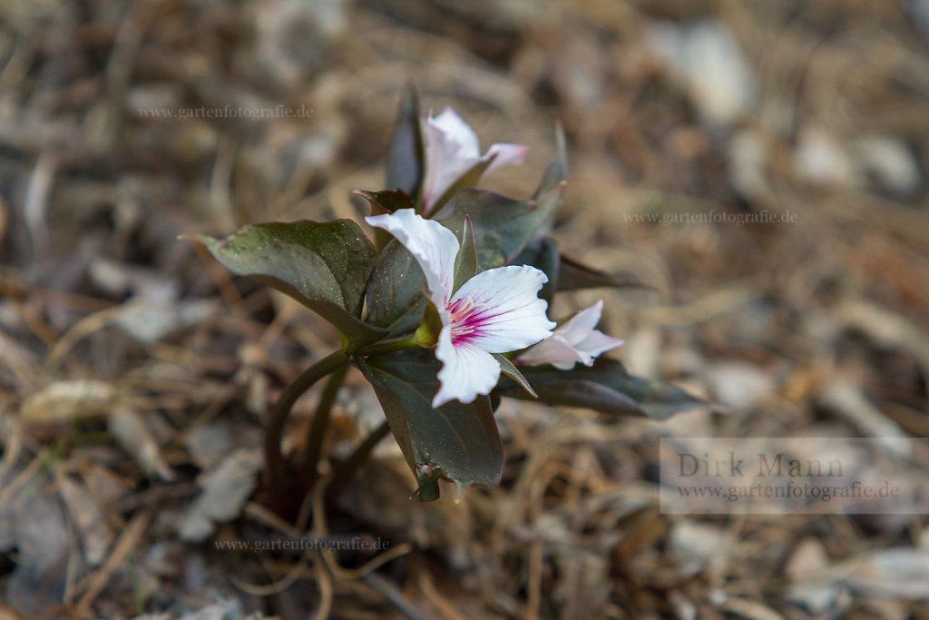 Foto: Waldlilie (Trillium undulatum)
