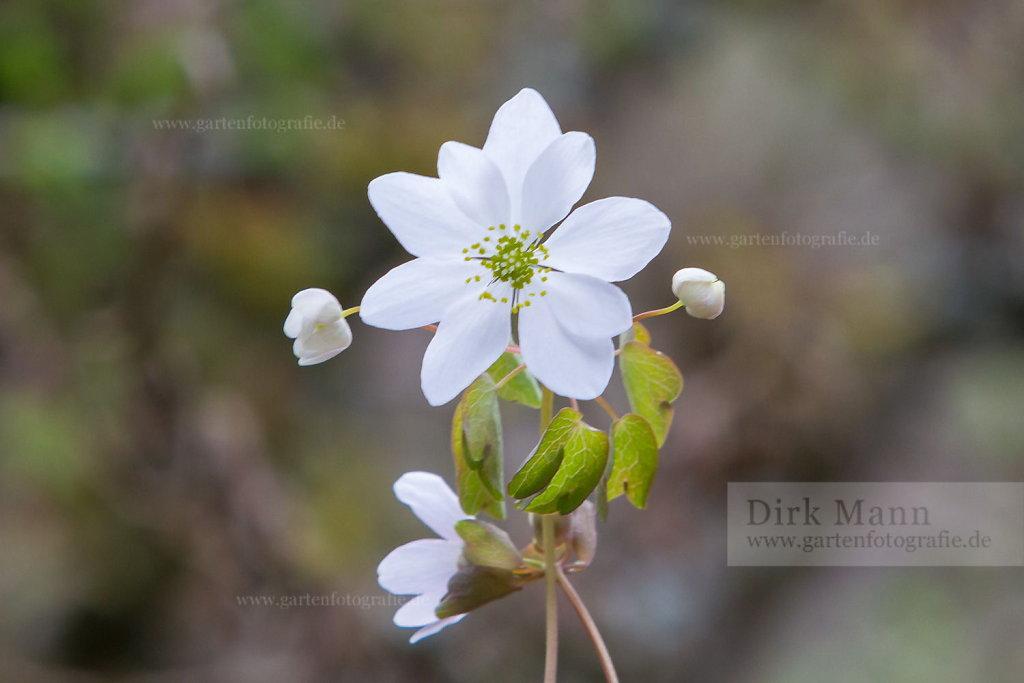 Foto: Rauten-Anemone (Anemonella thalictroides 'Alba')