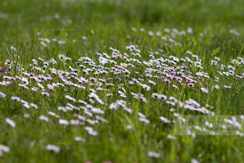 Foto: Gänseblümchen (Bellis perennis)
