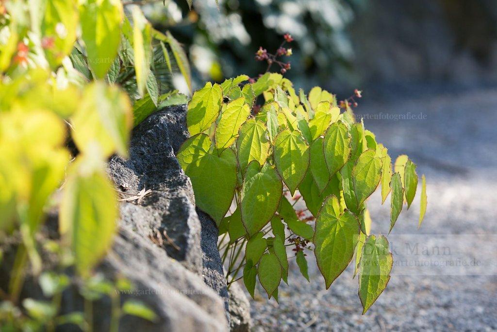 Foto: Alpen-Elfenblume (Epimedium alpinum)