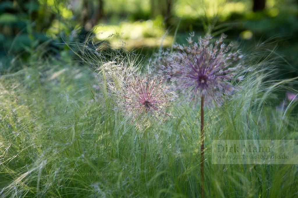 Foto: Riesen-Lauch (Allium giganteum)