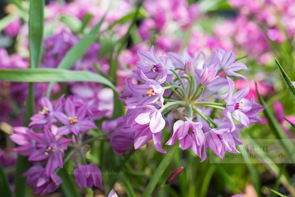 Foto: Turkestan-Berglauch (Allium oreophilum)