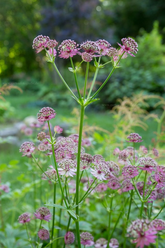 Foto: Große Sterndolde (Astrantia major 'Ruby Cloud')
