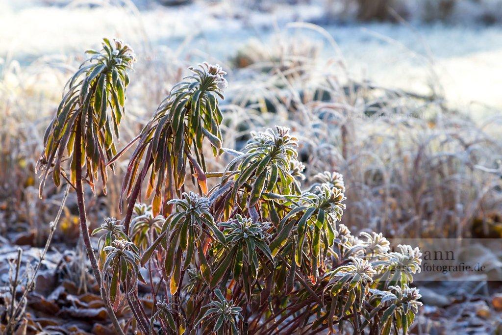 Bild: Wolfmilch im Frost