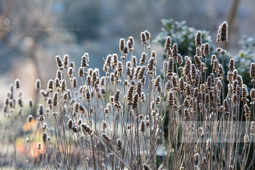 Bild: Samenstände im Winter